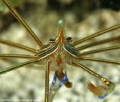 An Arrow crab feeds itself. Cozumel. Canon 400D 100mm.
