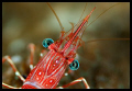 Dancing shrimp - Similan islands - 105 mm macro