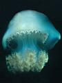 Jelly fish (Rhopilema esculenta). Motormarine II