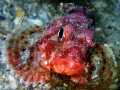 Scorpionfish portrait during a night dive. She cought and ate several small fish swimming by, but I couldnt manage to catch the moment... Olympus SP-350 has some shutter lag. 1/80 s, f/4.5, ISO 200