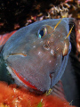 Red-lipped blenny.