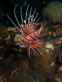 Lion Fish