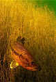 freshwater large mouth bass in southb african waters.