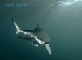 a small blue shark and its constant companion pilot fish- look into my lens. Almost cartoon like. Taken off Cape Point in 2007