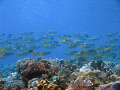 school of fish over a coral garden, taken in Fukui - Bunaken, North Sulawesi, Indonesia