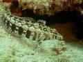Sharpnose Grubfish (Parapercis cylindrica)
