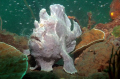Frogfish wondering around !
