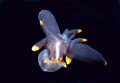 Thecacera Sp - swimming Nudibranch -