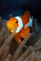 clownfish in Indonesia.