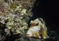 Spotted trunkfish, night snorkel. Nikonos V.