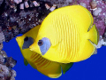 Masked butterflyfish taken at Quays with Olympus SP350.