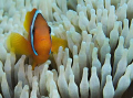 anemonefish sp. in anemone.