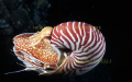 Nautilus pompilius.