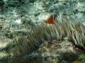 anemone fish swimming on a local harbour reef nuku'alofa tonga using olympus 720
