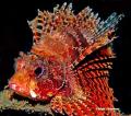 Mombasa lionfish. Lembeh. Nikon D200.