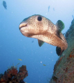 Porcupine fish above the Corinthian in St. Kitts