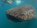 Whale shark (Rhincodon typus) in Donsol