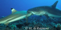 Amazing! A grey reef shark bitting a black tip shark. D50/12-24mm one strobe (Borabora).