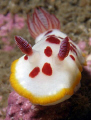 Chromodoris splendida, Bare Island