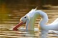pelican feeding at dusk