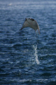 Flying Mobula over the Sea of Cortez - Cabo Pulmo - Baja - Mexico
