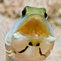 Last year I posted a jawfish with eggs that were about to hatch. This is the same jawfish shot a few days earlier just after the eggs were laid. From Little Cayman Island. Nikon D200 with 105mm lens.