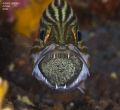 Tiger cardinalfish with eggs in the mouth