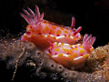 Nudibranch pair, Bare Island