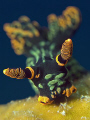 Charging Nudi. Taken in Tenggol with Canon G9, Inon Z240 & lenses. Full frame.