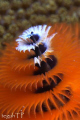 Christmas tree worm...