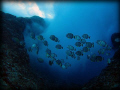 White spotted surgeonfish hanging in the surge zone Outside the Saipan Grotto @ 20 feet