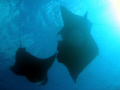Manta Rays feeding in German Channel