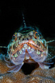 Lizardfish, up close and personal. Nikon D200 in Nexus housing, Inon Z-240 strobes.