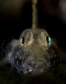 This temperate goby has the most brilliant eyes when lit up by strobes.  From the cold waters of Victoria , Australia