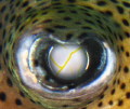 Puffer eye