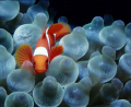 Spine cheek clownfish in a bubble anemone. Nikonos V, 15 mm Sea and Sea lens, SB 105 strobe. 