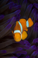 Anemone fish taken at Tufi Dive Resort PNG