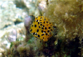 Tiny Boxfish being coy.