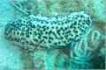 St. Kitts Sea Cucumber
