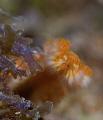 Bearded Fireworm Eastern Dry Rocks, Key West, FL