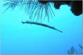 Trumpetfish Silhouette