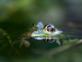 These picture of the frog I made in my own garden. It tooks some time to come close enough with my 50mm macro lens.