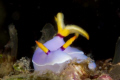 Hypselodoris bullockii, Nudibranch Taken at Tufi Dive Resort PNG