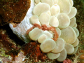 Orangutan crab on a soft coral at Dakit-Dakit Marine Sanctuary