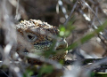 Land Iguana hidden in the bushes on one of the islands in the Galapagoos Islands.