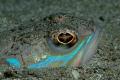 Fishs - Trachinus araneus