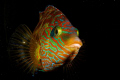 Corkwing wrasse (Symphodus melops) standing by and defending its spawn layed on the wreck of the Leven, in Baleal, Portugal. Shot using Canon EOS 300D in Nimar housing, Sigma 50mm macro, Ikelite MV and Nikonos SB-105 strobes.
