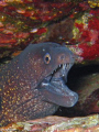 Moray eel (Muraena helena)