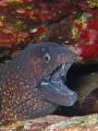 Moray eel (Muraena helena)