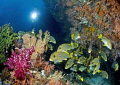 sweetlips at Mikes Point, Raja Ampat